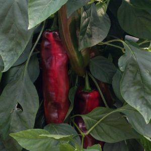 Sweet Horn Peppers